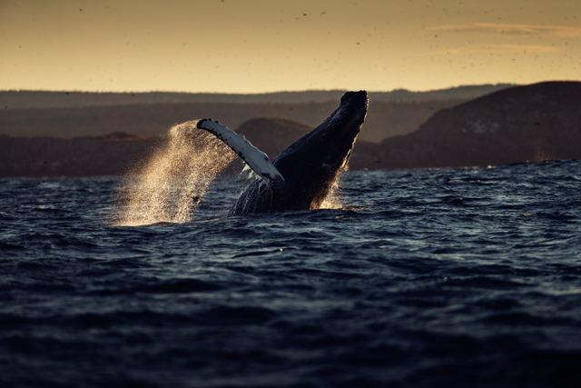 Whale Breach 5