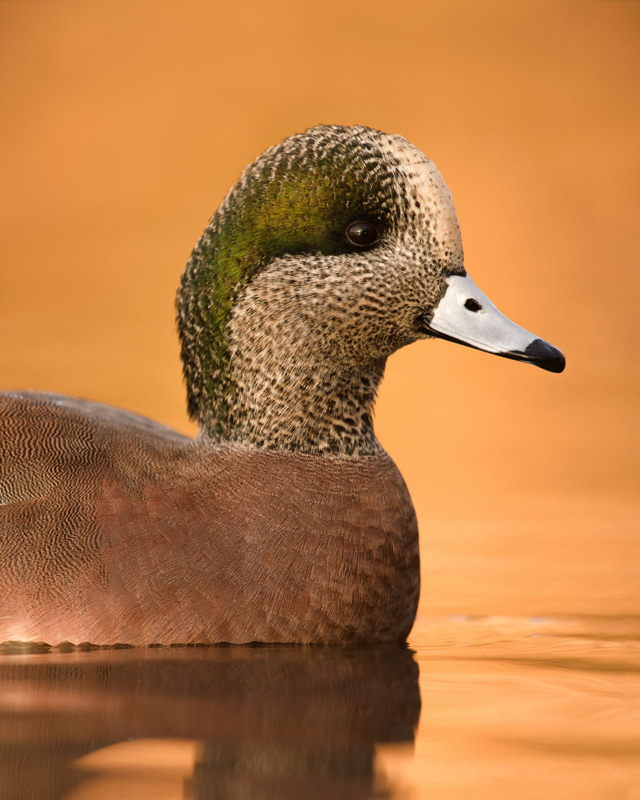 American Wigeon in Golden Light