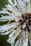 Rainy Dandelion II