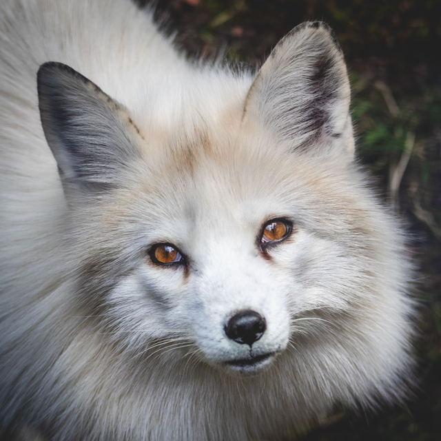 Eyes of an Arctic Fox