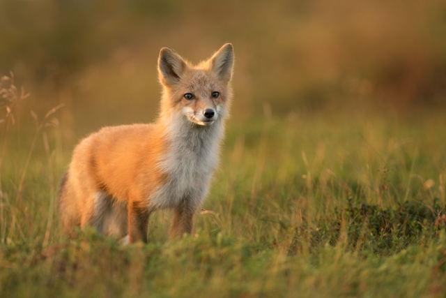Red Fox in morning light