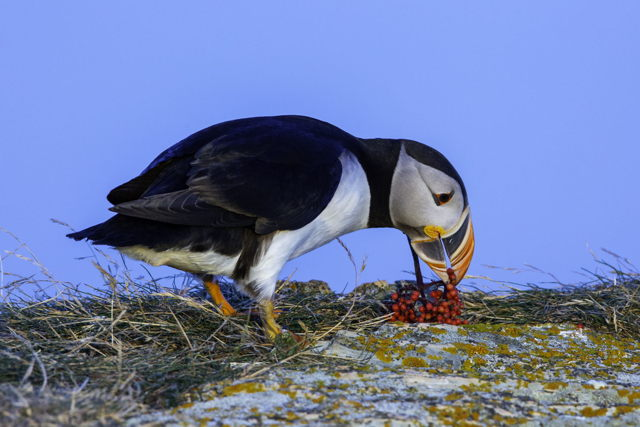 Puffin with dog berries