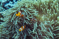 Clownfish at Home