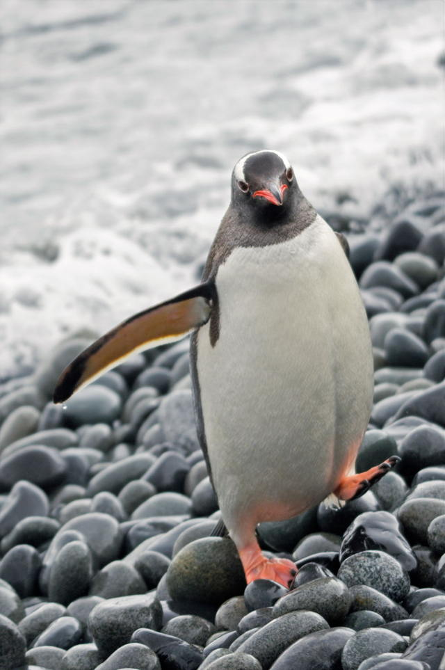 Penguin - Gentoo Return, Fort Point