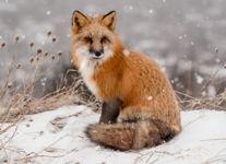 Snowfall and the Fox