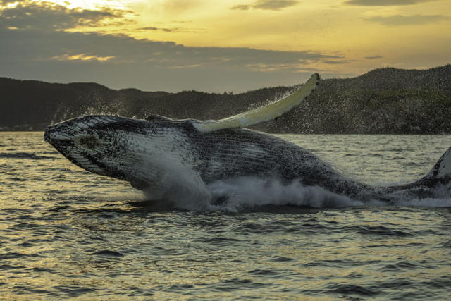 Humpback Whale Breach Three