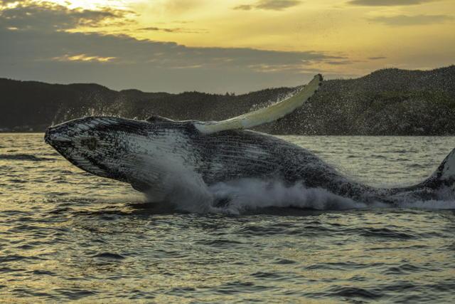 Humpback Whale Breach Three