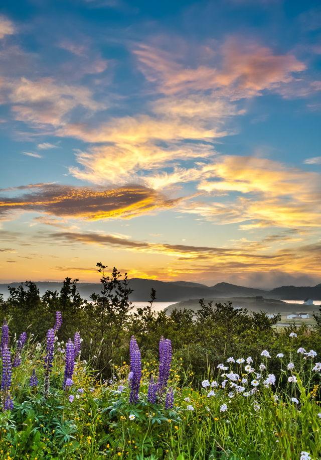 Lupines at Sunrise, Port Rexton, Newfoundland