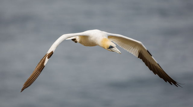 Gannet Flight 1