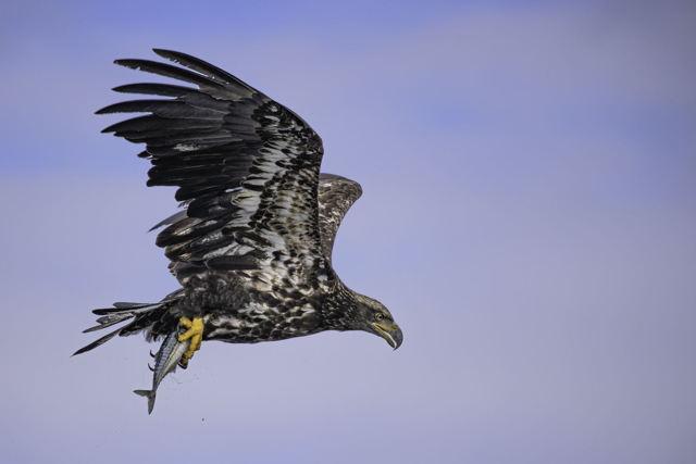 Juvenile bald eagle in flight with mackerel