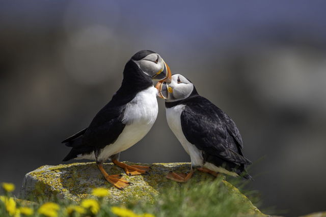 Puffin Affection