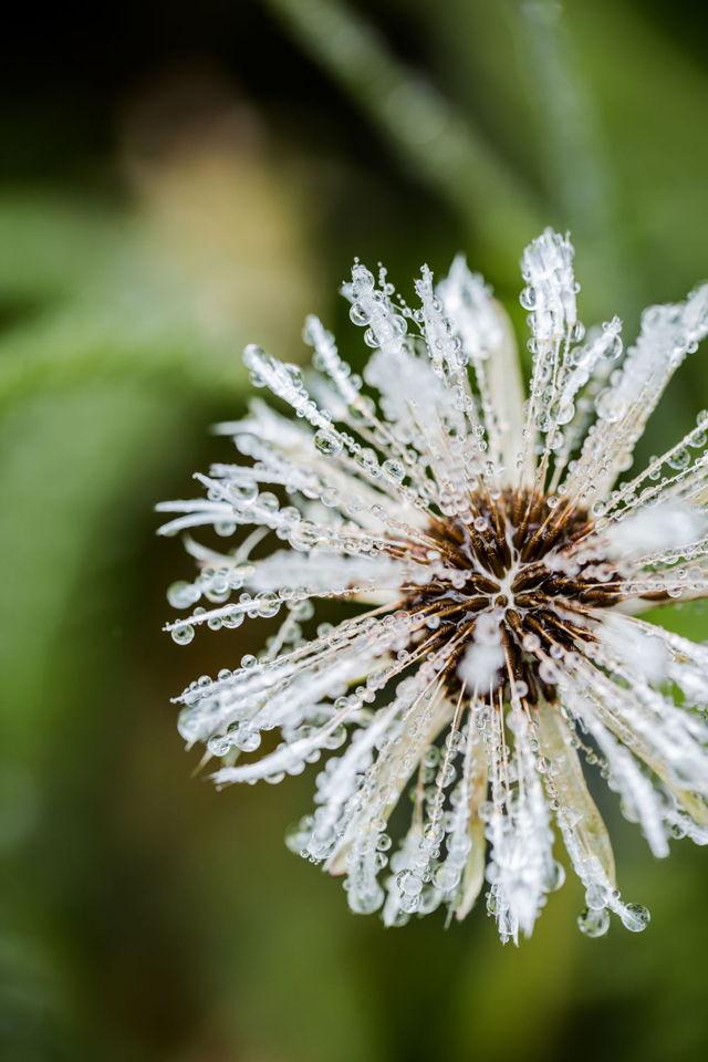 Rainy Dandelion I