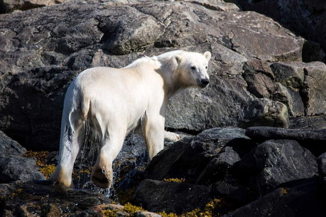 Polar Bear - Torngat Mountains