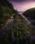 Lupins of Shoe Cove