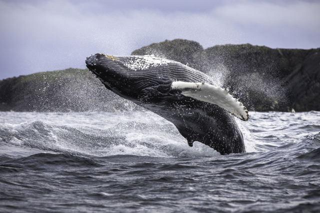 Breaching Whale at Bonavista