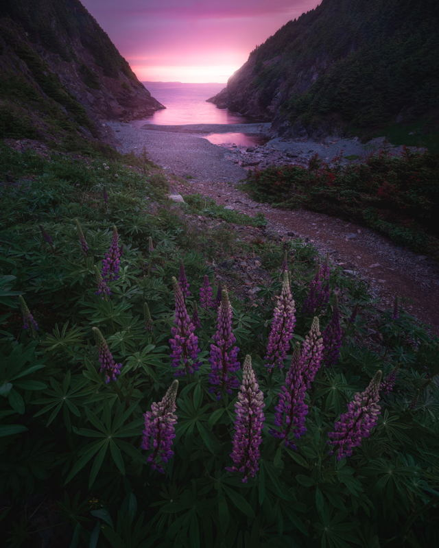 Lupins at Shoe Cove