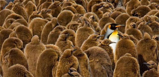Alone in a Crowd, Gold Harbour, South Georgia Island