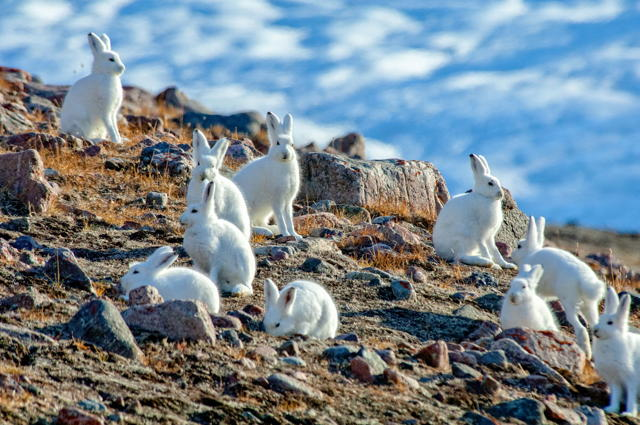 Drove of Arctic Hares