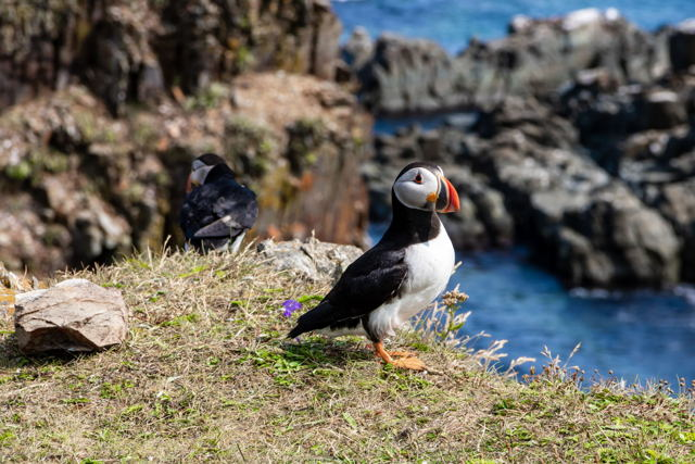 Puffin And Their Little Buddy