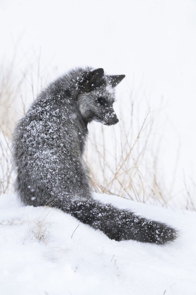 Snow Covered Silver Fox