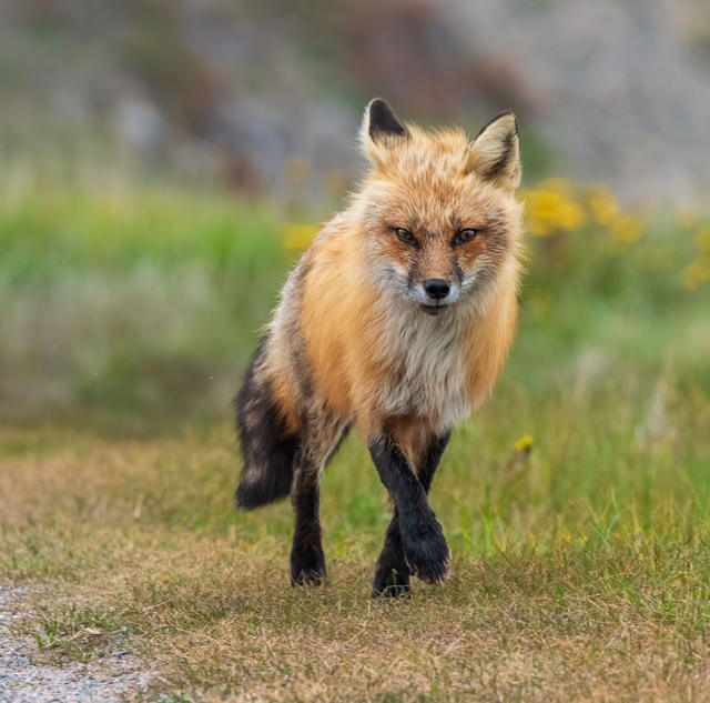 Red Fox in the Summer