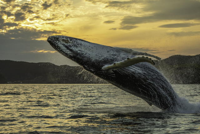 Humpback Whale Breach One
