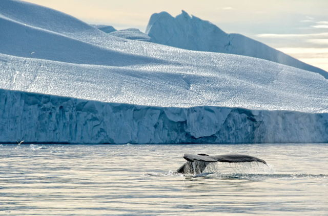 Humpback with Iceberg, Greenland