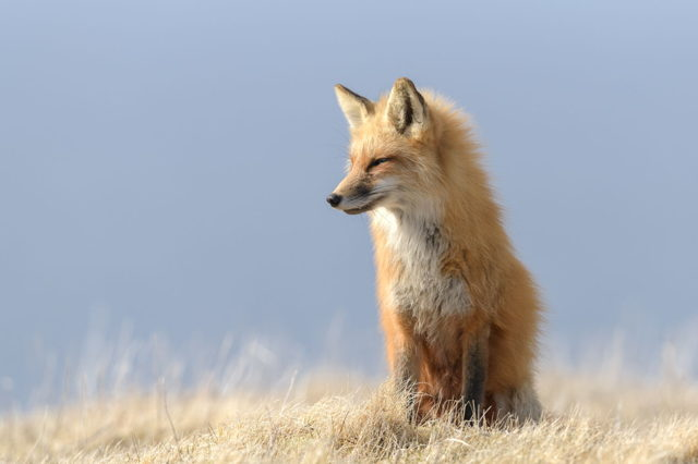 Red Fox, Cape St.Mary's Ecological Reserve