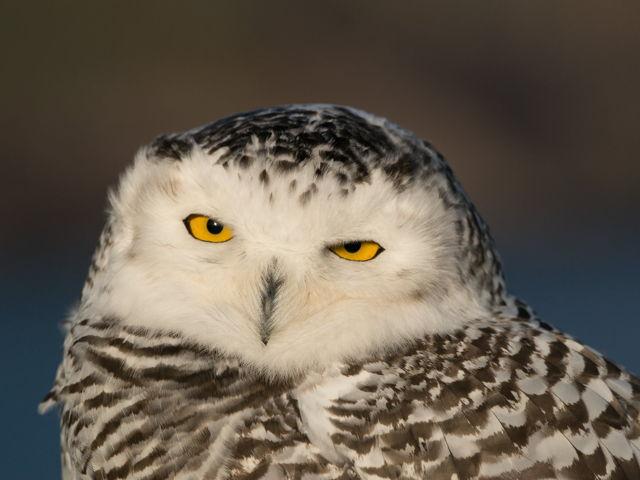Snowy Owl Closeup