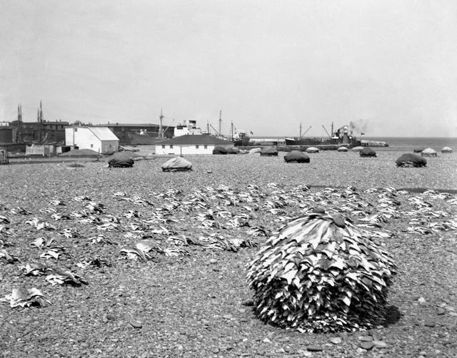 Drying Fish on the Beach at Grand Bank - 1940s