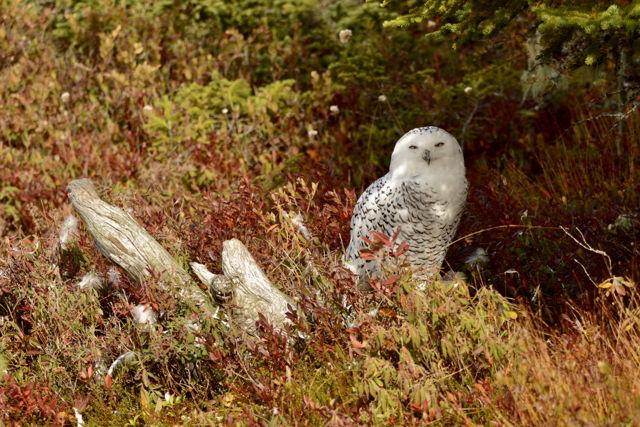 Owl in the fall