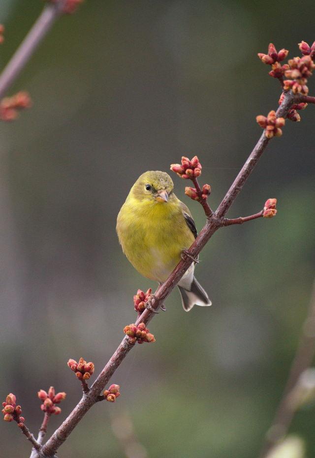 American Goldfinch 3