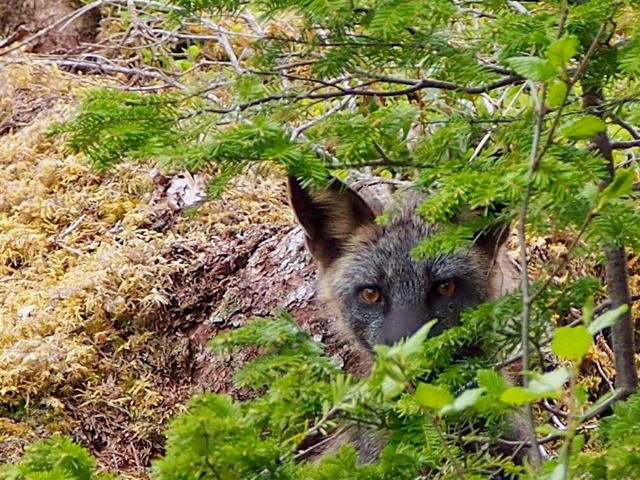Hide and seek with a fox
