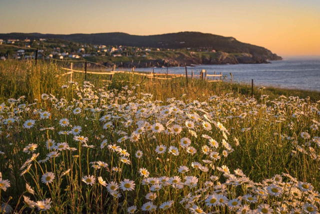 Pouch Cove Daisies