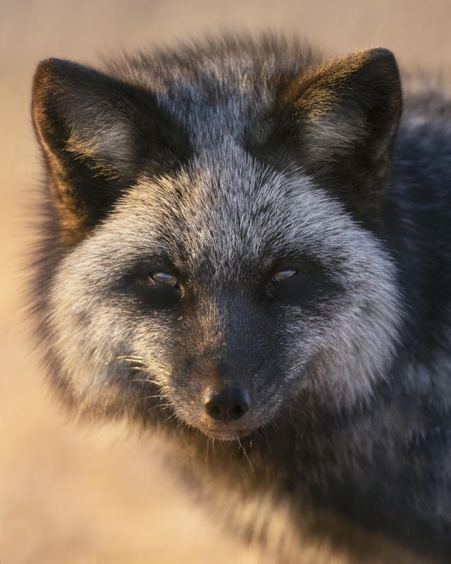 Silver Fox in Warm light