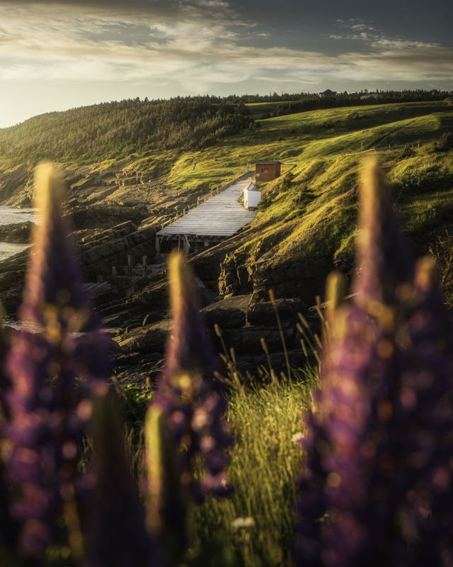 Through the Lupins Pouch Cove