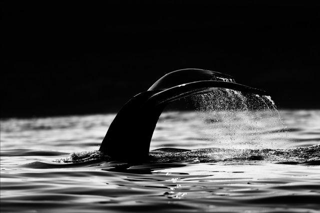 Whale Dive Monochrome