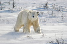 Curious Polar Bear, Churchill, Manitoba, Canada