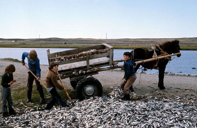 Capelin, Point May, 1970's