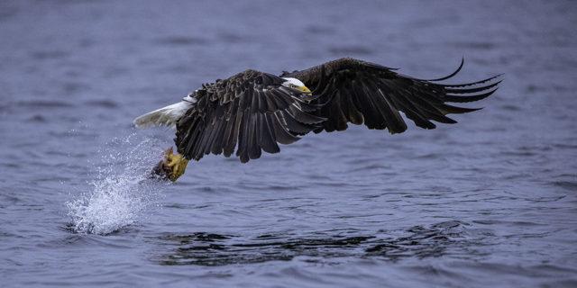 Bald Eagle Eye Through Wing