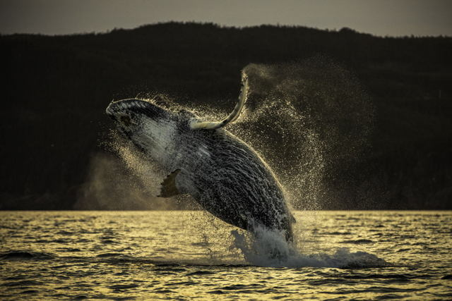 Humpback Whale Breach Trinity