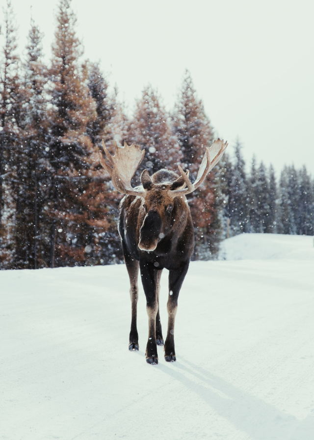 Bull Moose During Snowfall