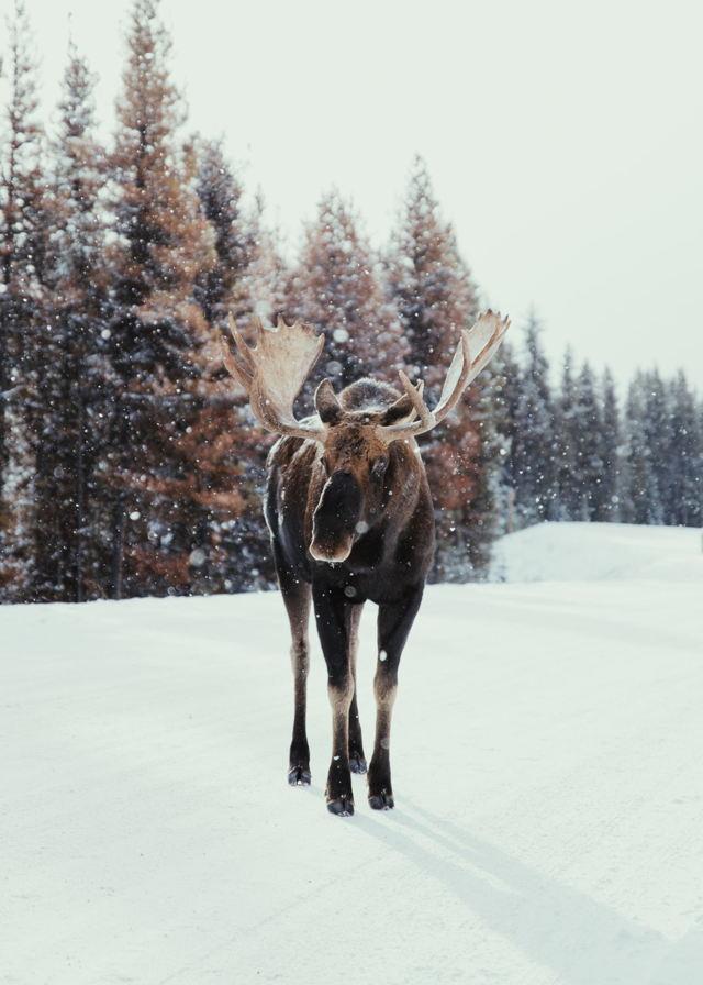 Bull Moose During Snowfall